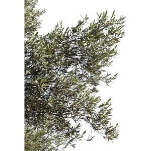 Olive06_OliveTrees_preview (Copy)