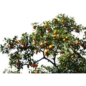 Orange08_OrangeTrees_preview (Copy)
