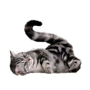 گربه33