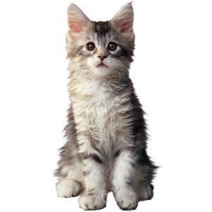 گربه40
