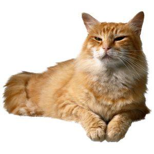 گربه53