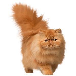 گربه31