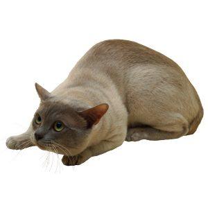 گربه4