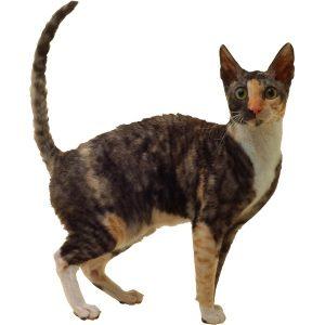 گربه8